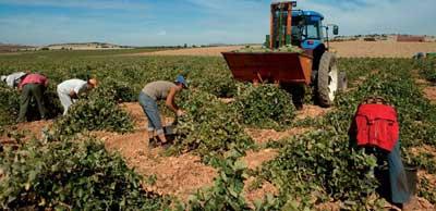 Tecnovino-Castilla-La-Mancha-cosecha-buena-uva