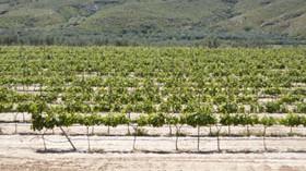 La OIV cataloga 6.154 variedades de vid en el mundo