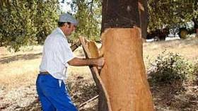 La campaña del corcho en Extremadura logra un 40% más de producción este año