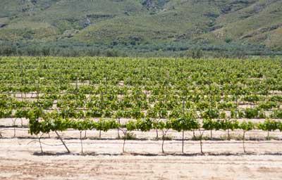 Tecnovino Simovi monitorizacion viñedo y uva