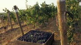 Expertos estudian la incidencia ultravioleta en vinos de la UE con uvas Pinot Noir