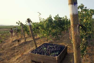 Tecnovino-viñedo-Pinot-Noir