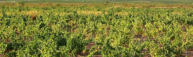 Tecnovino DOP Vinos Alicante vendimia 2013