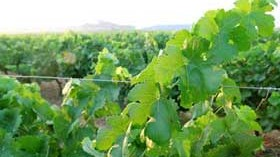 El nuevo sistema de autorizaciones de plantación del viñedo se tramitará de forma urgente