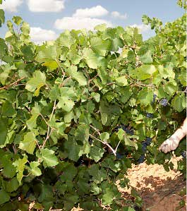 Tecnovino cosecha de uva 2013 DO Valencia