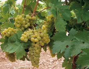 Tecnovino primer vino espumoso natural tempranillo blanco