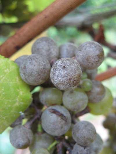 Tecnovino vinos de Tempranillo estudio Neiker