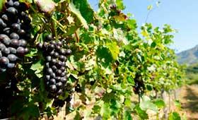 Tecnovino Vinos de Madrid vendimia en Madrid