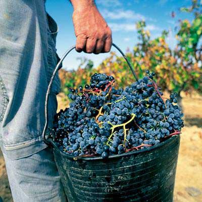 Tecnovino vendimia en Viñas del Vero