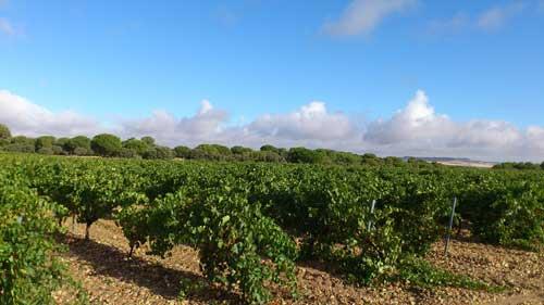 Tecnovino Ruta del Vino de Rueda majuelo vinedo