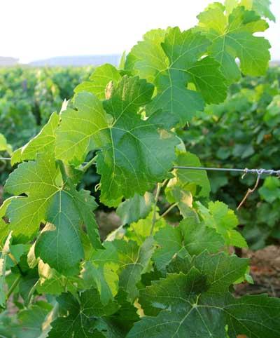 Tecnovino energia verde vina Vineyard4heat