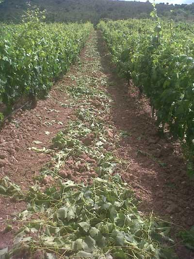 Tecnovino vendimia 2014 en la Ribera del Duero desnietado