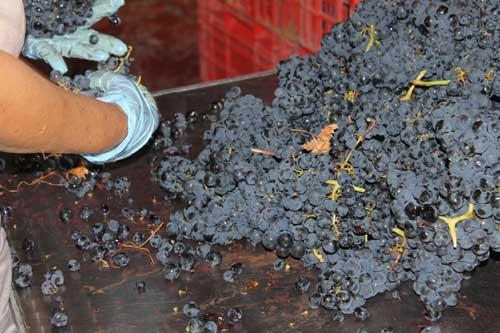 Vendimia 2015 de los Vinos Ribera del Duero