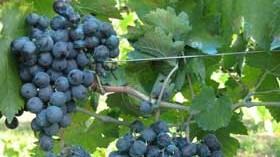 La uva mencía bajo investigación para lograr mayores compuestos biosaludables