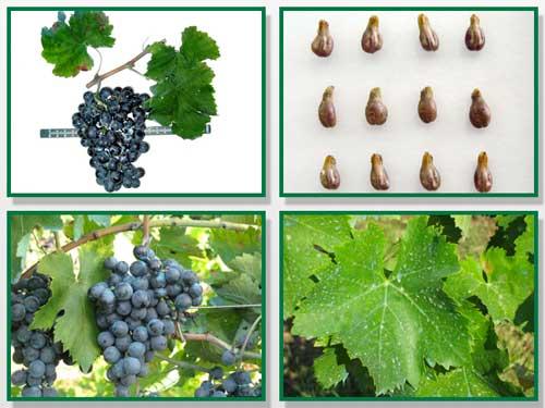 Tecnovino uva mencia Pazo de Rivas CSIC