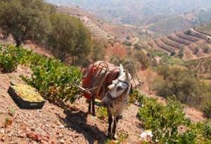 Tecnovino vinos nacionales Grupo Jorge Ordonez vendimia mulas