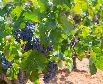 Tecnovino Fast Clone ID variedades y clones de vid hojas uva