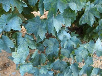 Tecnovino Neiker fitosanitarios en viticultura 2