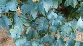 Neiker investiga para reducir el uso de fitosanitarios en viticultura