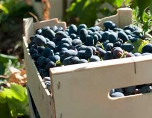Tecnovino viticultores pagar la uva 30 dias