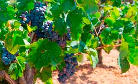 Tecnovino maduracion de las uvas cambio climatico tesis