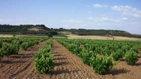 El viñedo de regadío en España supone el 38,6% de la superficie total