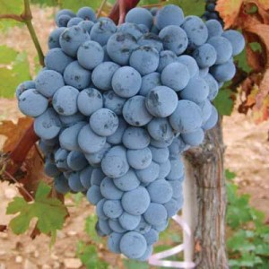Tecnovino vinos emergentes Turquia Prowein okuzgozu