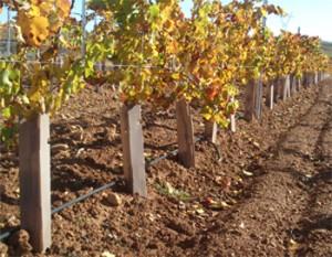 Tecnovino Probar protectores cuadrados para viñedos