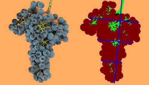 Tecnovino densidad de los racimos de uva