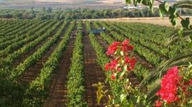 Condado de Huelva se alía con la Universidad para recuperar variedades autóctonas tintas