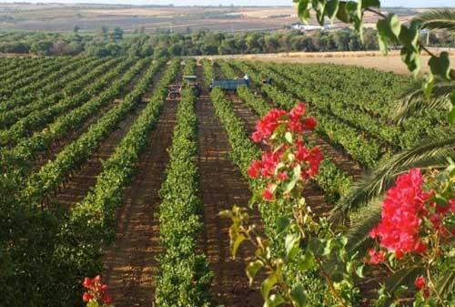 Tecnovino Condado de Huelva UHU variedades tintas