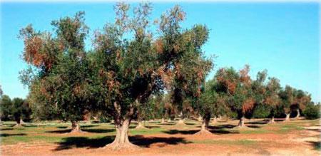 Tecnovino UE bacteria perjudicial vid olivo