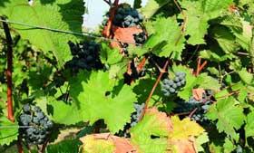 Tecnovino maduracion de la uva Bayer CropScience