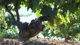 Un trabajo sobre reguladores del crecimiento en el viñedo logra el Premio Sarmiento