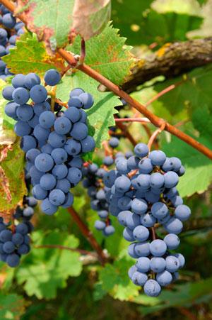 Tecnovino maduracion fenolica Bayer CropScience Fruitel 180 2