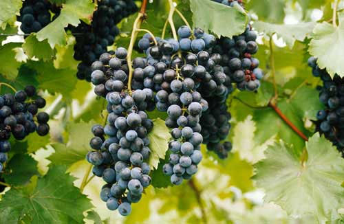 Tecnovino maduracion fenolica Bayer CropScience Fruitel 180 3