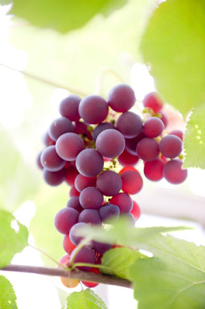 Tecnovino maduracion fenolica Bayer CropScience Fruitel 180