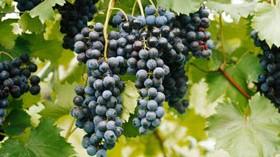 El desajuste entre la maduración fenólica y tecnológica dentro de la uva, una preocupación creciente
