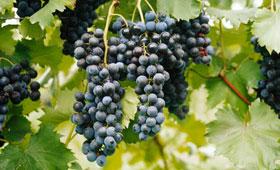 Tecnovino maduracion fenolica Bayer CropScience Fruitel