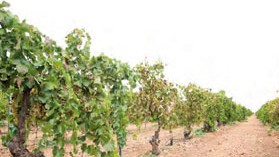 Más del 5% del vino del mundo se elabora y comercializa por cooperativas de Castilla-La Mancha