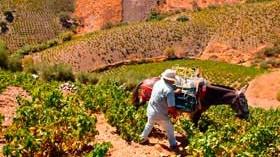 Las viñas más viejas sufren menos los efectos de las olas de calor