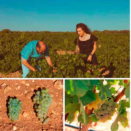 Tecnovino Javier Sanz Viticultor vendimia 2015 2