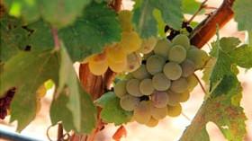 Una vendimia sin prisas en Javier Sanz Viticultor