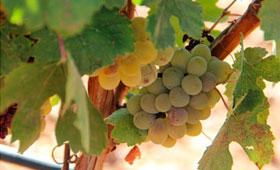 Tecnovino-Javier-Sanz-Viticultor-vendimia-2015-280x170