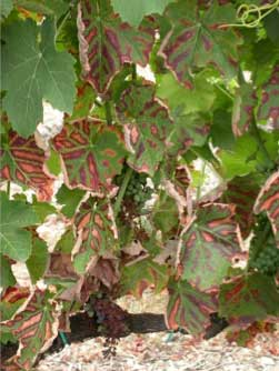 Tecnovino Winetwork La Rioja enfermeda madera vid