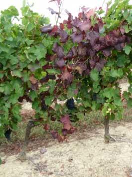 Tecnovino Winetwork La Rioja flavescencia dorada vid