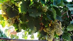 Un proyecto de investigación para mejorar la calidad de los vinos blancos españoles