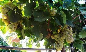 Tecnovino investigacion calidad de los vinos blancos espanoles 280x170