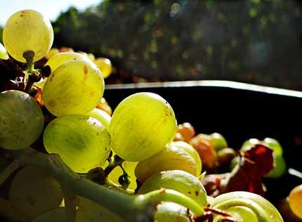 Tecnovino investigacion calidad de los vinos blancos espanoles