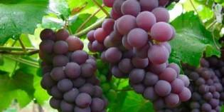 Seminario en el ICVV: 'Cambios en la composición de la uva por infección con Botrytis cinerea'